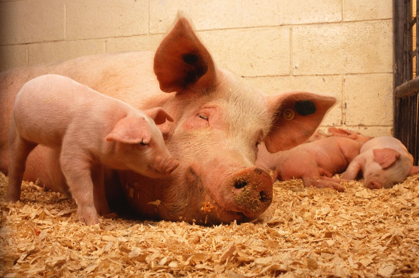 3 brilliant things you may not know about pigs